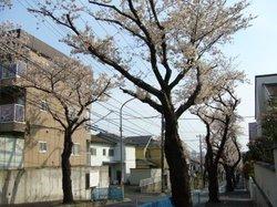 P1010846shinnsakura3